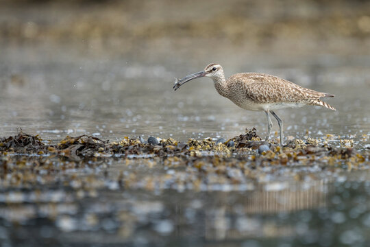 USA, Washington State. A Whimbrel (Numenius phaeopus) grabs a crab while foraging during fall migration. Neah Bay.