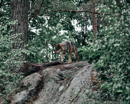 View Of A Wolf On Tree Trunk