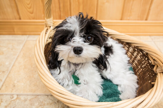 Maltipoo puppy reclining in a basket. Maltipoos are a cross-breed/hybrid dog obtained by breeding a Maltese and a Poodle.