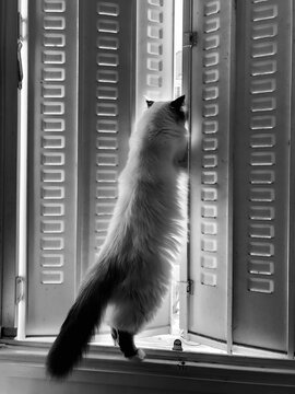 Cat Lockdown, Standing Up And Looking Through A Windows From Home