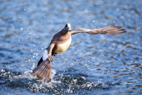Iridescent Drake American Wigeon Duck Gains Altitude After Splashy Jump Off a Pond