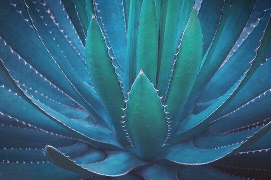 Spiky Agave Plant In Dark Tone Color Natural Texture Background