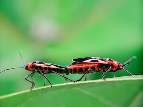 Close-up Of Insect Mating On Leaf