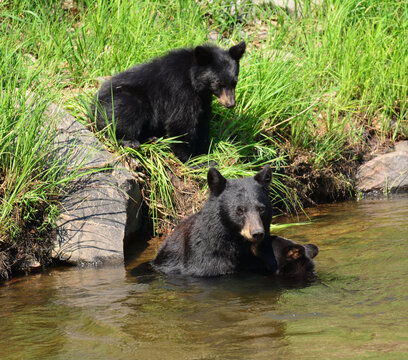black bear family swimming in the south platte river on a sunny summer day in waterton canyon,  near littleton, colorado