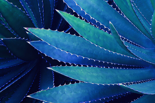 Spiky Leaves Of Agave Plant In Blue Tone Color