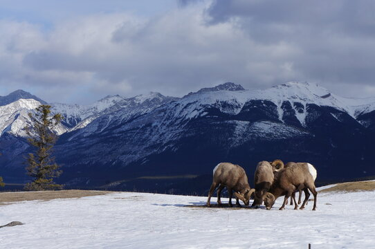 Bighorn Sheep On Snow Covered Field Against Sky