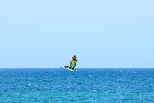 Pelikan Fly Over Carribien Sea