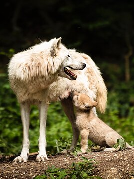The Wolf And Her Child
