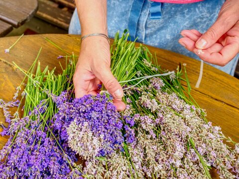 Blooming Healing Lavender Plants Ready To Bid Into Bunch . Purple Herbal Stalks On Agriculture Farm