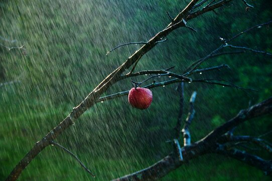 Close-up Of Wet Red Apple Growing On Tree