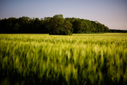 Low Angle Of A Cornfield With A Tree In The Middle