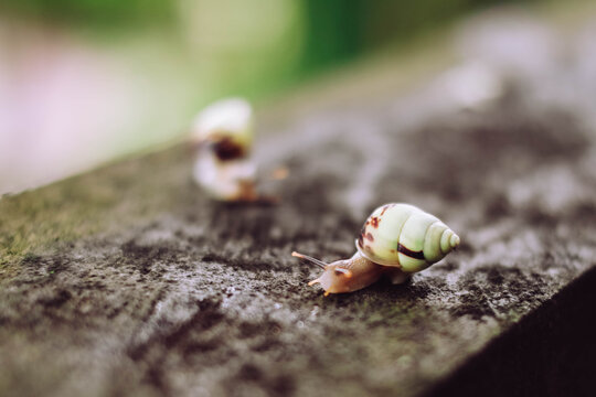 A Light Green Snail Passing The Time On A Stone On A Blurred Background In Paradise Island Bali