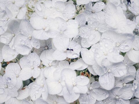 Close-up Of Ant On Fresh White Hydrangeas With Rain Drops