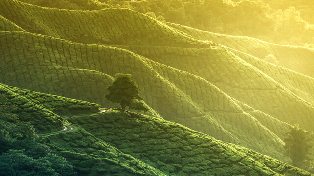 High Angle View Of Tea Plantation Green Land With Beautiful Morning Sunrise Fog Effect