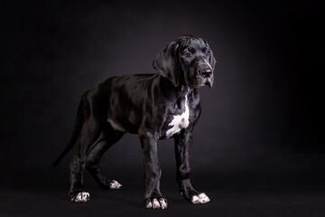 Obraz Portrait of a great dane puppy on black background - fototapety do salonu