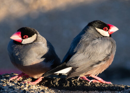 Two Java Finches