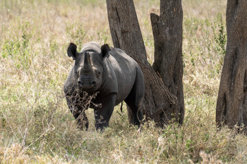 Printed kitchen splashbacks Rhino Black rhino in Serengeti