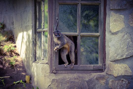 Ape Sitting On Window