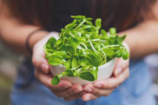 Close Up A Cup Of Sunflower Sprout In A Woman Hands.