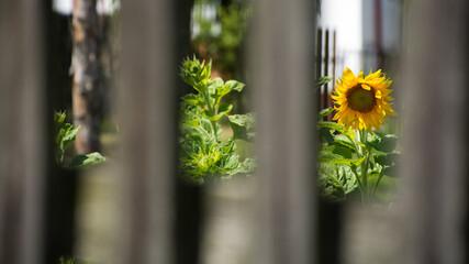 Fototapeta Żółty kwiat słonecznika w ogrodzie widziany zza drewnianego płotu obraz