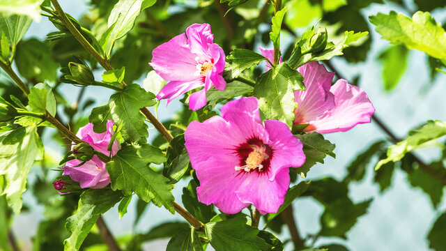 Pink hibiscus on the bushes in the garden in sunny weather