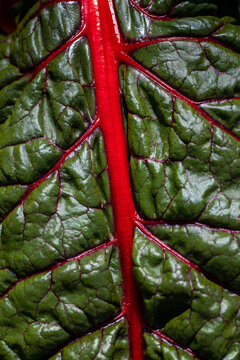 Close-up of red-yellow stemmed chard in the summer time vegetable garden