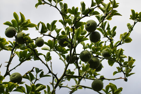 View of lime citrus tree branch in the summer garden