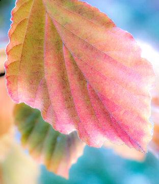 USA, Washington State, Sammamish witch hazel leaves fall colors in orange