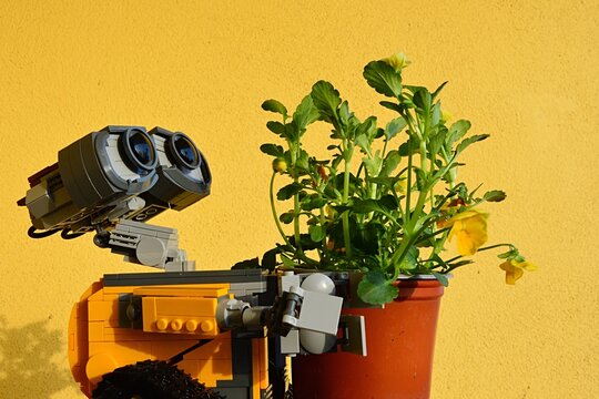 LEGO Wall-E robot from Pixar animated movie carrying plastic pot with fresh Pansy flowers, latin name Viola, yellow wall in background.