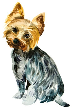watercolor drawing of Yorkshire terrier