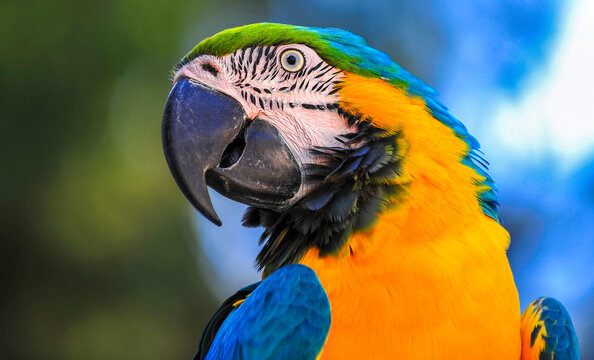 Macaw type parrot with orange blue plumage
