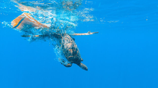 Entangled Sea Turtle On A Ghost Net