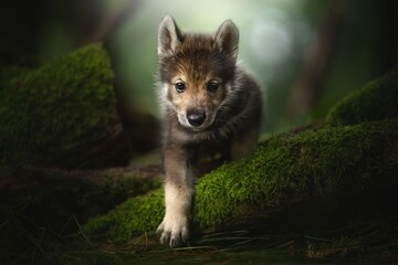 Fototapeta Wolf cub in the forest.