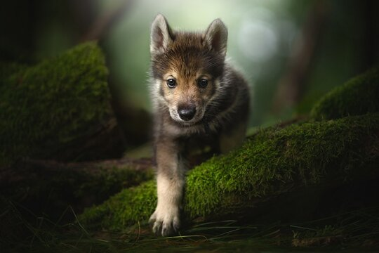 Wolf cub in the forest.