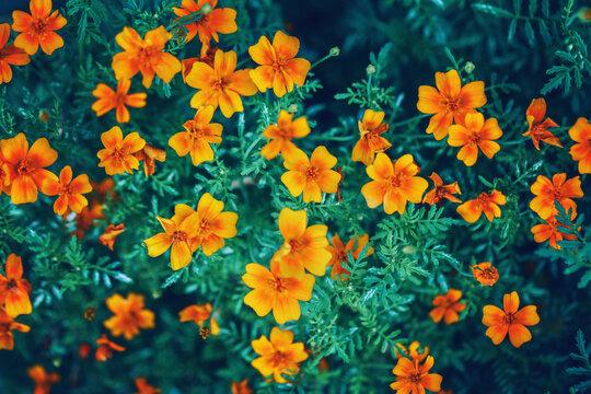 Yellow Red Marigold Marietta Flowers. Dark Art Moody Floral. Natural Eco Organic Background.