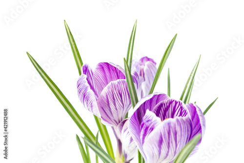 Large crocus Crocus sativus C. vernus flowers with purple streaks for postcards, greetings for Mother's Day, Valentine's Day. Isolated on white background
