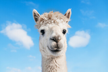 Portrait of funny smiling alpaca on the background of blue sky . South American camelid.