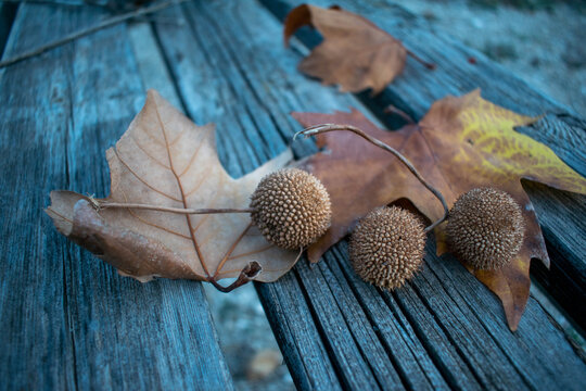 Balls Seeds Sycamore And Leaves. Autumn Concept