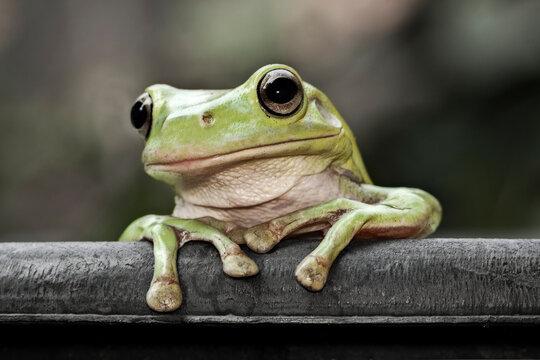 Dumpy Frog Looking At To Camera