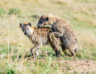 Spotted Hyena, having Sex