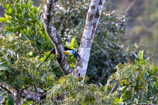 Toucan Ariel en Guyane