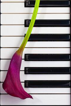 Dark violet calla on the piano keys.