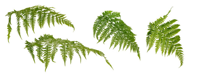 Few fern stems with leaves on white background