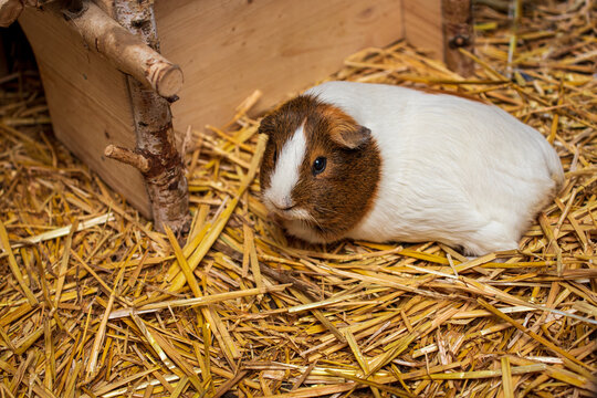 Full body of white-brown hair domestic guinea pig cavy on the straw