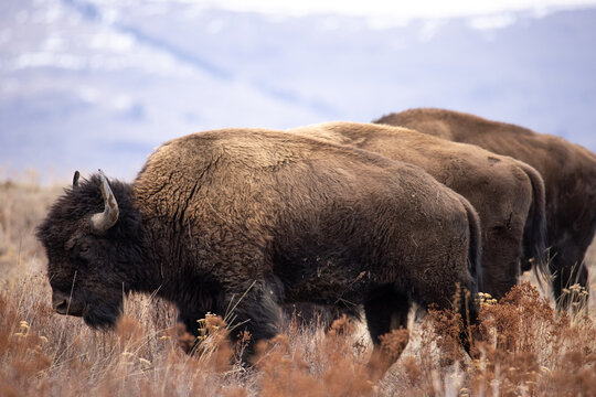 Three bison standing parallel to one another makes for an interesting pattern.