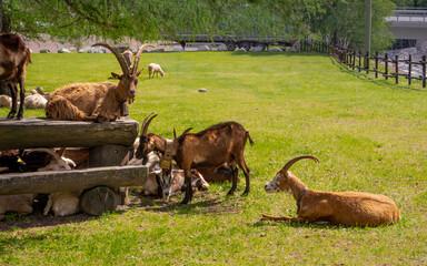 Printed kitchen splashbacks Antelope Capre e pecore pascolano in un'area pic nic alle pendici del Monte Bianco. Valle d'Aosta. italia