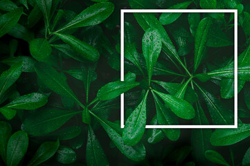 Top view of dark green tropical leaves with raindrop. creative layout made of leaves nature dark green background. Flat lay. Nature concept. Low key