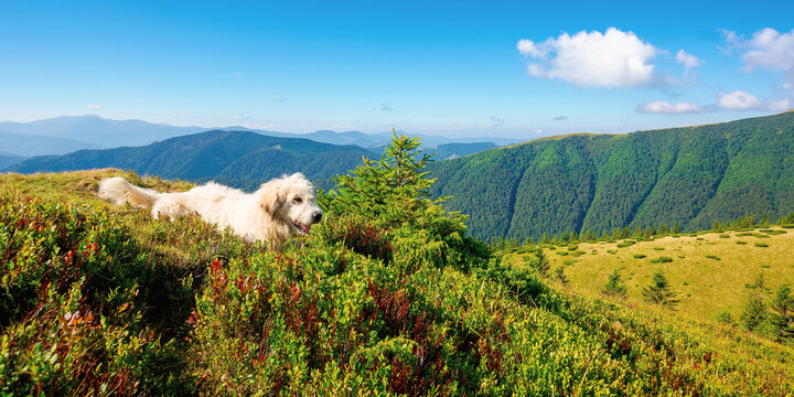 shepherd dog rest on the hill. cute animal in summer mountain landscape on a sunny day. good old friend concept