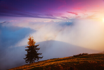 Wall Mural - Spruce on a slope in a misty morning. Location place Carpathian mountains, Ukraine, Europe.