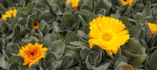 Spring summer gardening floral flower background banner panorama - Close up of beautiful yellow orange bloomingCalendula stellata Cav  in garden